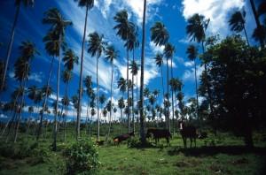 Samoa - foresta di palme