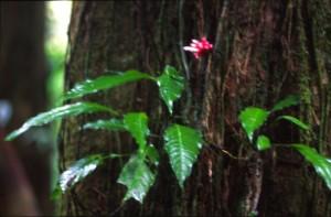 America Centrale - Costarica - Tortuguero - foresta