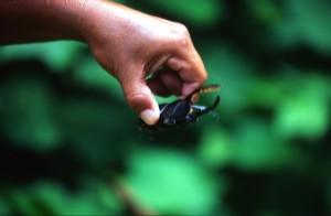 America Centrale - Nicaragua - Isla de Ometepe - cervo volante