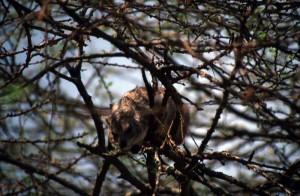 Tanzania - Serengeti - Rock Hyrax