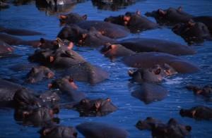 Kenya - Masai Mara - Hippo pool