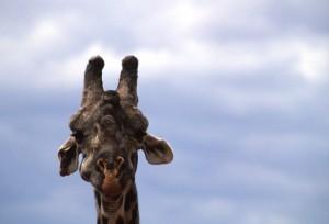 Tanzania - Lake Manyara - giraffa