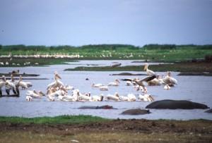 Tanzania - Lake Manyara - aironi e ippopotami