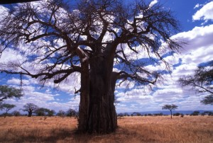 Tanzania - Tarangire - baobab