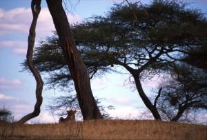 Tanzania - Tarangire - leonessa