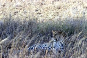 Tanzania - Serengeti - leopardo