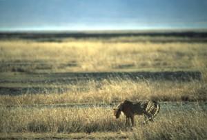 Tanzania - Ngoro Ngoro - ghepardo