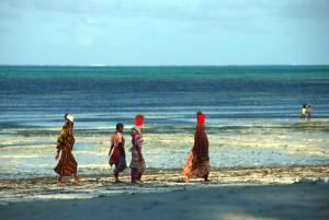 Tanzania - Zanzibar - la raccolta delle alghe