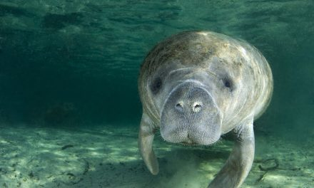 The Manatees… gentle sea cows