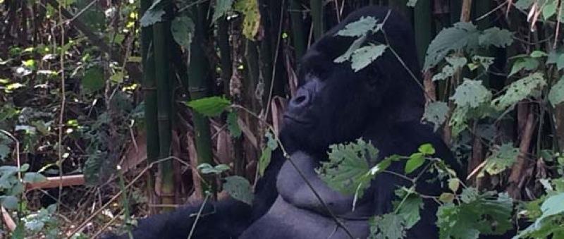Humba - Congo