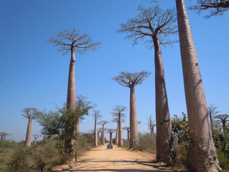 Madagascar - Avenue de Baobab