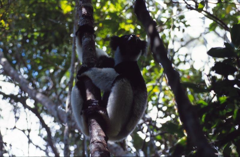 Madagascar - Indri Indri