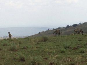 Zebre Akagera