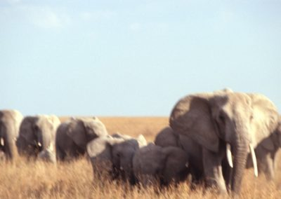 A long Walk - Family of Elephants - Serengeti National Park - Tanzania