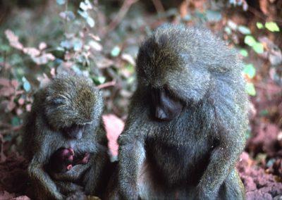 Baboons Family - Tarangire National Park - Tanzania