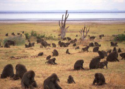 Baboons - Tarangire National Park - Tanzania