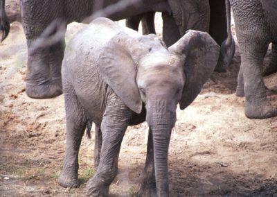 Baby Elephant - Serengeti National Park - Tanzania