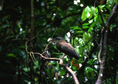 Bird - Tortuguero National Park - Costa Rica, Central America