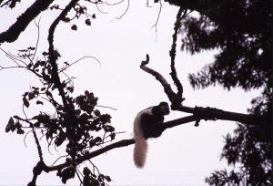 black and white monkey kilimanjaro trekking tanzania 300x204 - Black and White Monkey - Kilimanjaro Trekking - Tanzania