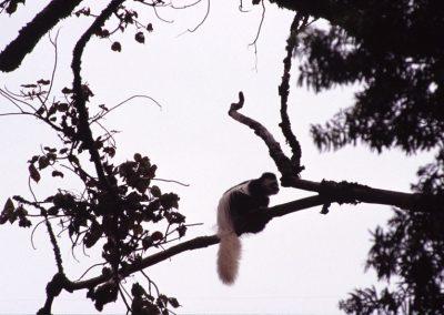 Black and White Monkey - Kilimanjaro Trekking - Tanzania