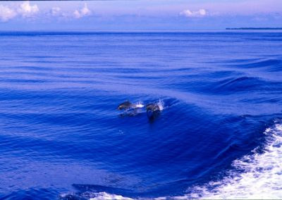 Dolphins - To the Blue Hole - Belize, Central America