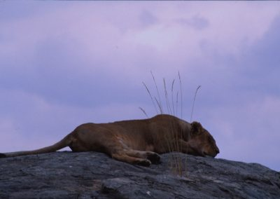 Female Lion sleeping - Maasai Mara National Reserve - Kenya