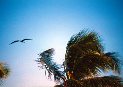 Frigatebird - Caye Caulker - Belize, Central America