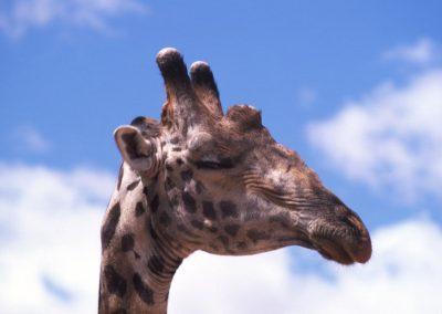 Giraffe in Profile - Serengeti National Park - Tanzania