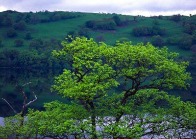 Green Tree - Wales