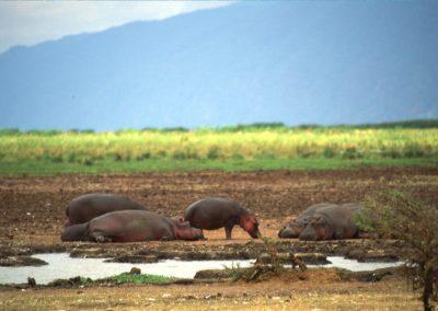 Hippo's Family - Lake Manyara National Park - Tanzania