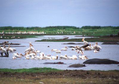 Hippos and Pelicans - Lake Manyara National Park - Tanzania
