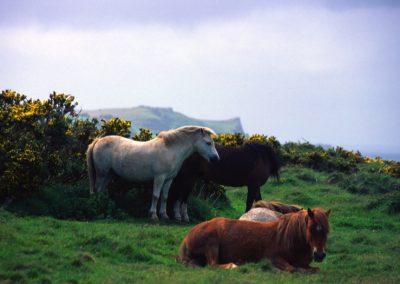 Horses - Wales