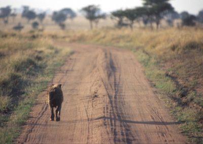 Hyena -  Tarangire National Park - Tanzania