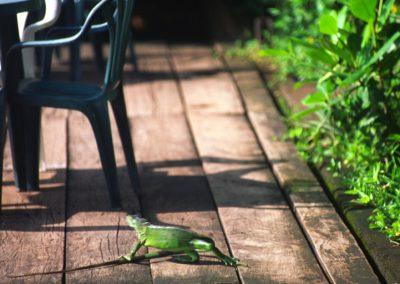 Iguana - Tortuguero National Park - Costa Rica, Central America