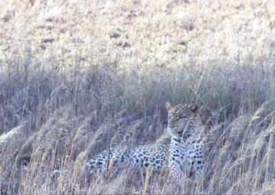 Leopard - Serengeti National Park - Tanzania