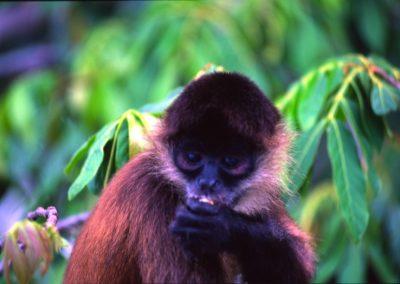 Little Monkey in Las Isletas - Nicaragua, Central America