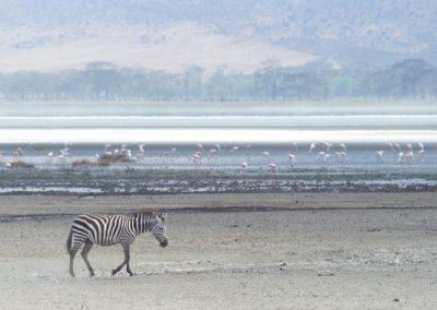 Lonely Zebra and Flamingos - N'Goro N'Goro National Park - Tanzania