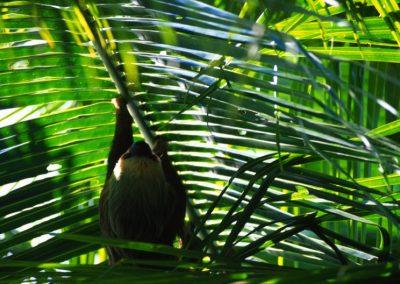 Lovely Sloth - Bocas del Toro - Panama, Central America