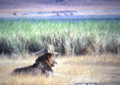 Male Lion - N'Goro N'Goro National Park - Tanzania