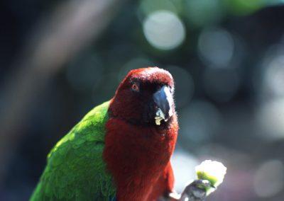 Parrot - Kula Eco Park - Viti Levu - Coral Coast - Fiji