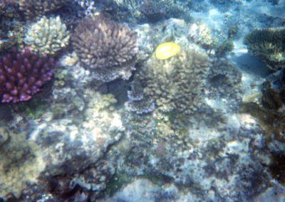 Purple Coral with Yellow Fish - Fiji, Samoa