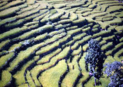 Rice Field - Nepal