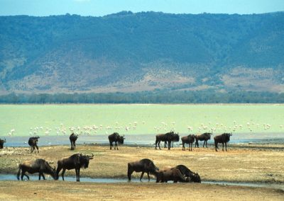 Salt Lake - Wildebeest and Flamingos - Ngorongoro Conservation Area - Tanzania