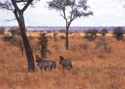 Savana and Zebras - Serengeti National Park - Tanzania