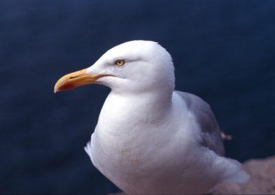 Seagull - Ireland