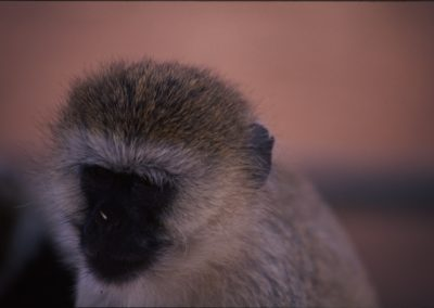 Small Monkey - Serengeti National Park - Tanzania