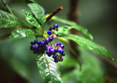 Strange Fruit - Tortuguero National Park - Costa Rica, Central America