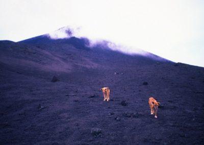 Stray dogs - Volcano Pacaya - Guatemala, Central America