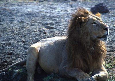 The King - Male Lion - Ngorongoro Conservation Area - Tanzania