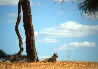 The Queen - Female Lion - Tarangire National Park - Tanzania